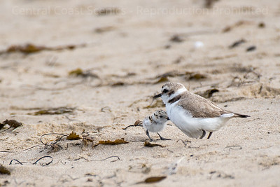 Western Snowy Plover Chick, Sheltering 1