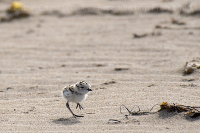 Western Snowy Plover Chick 8
