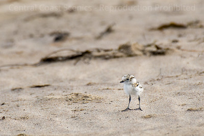Western Snowy Plover Chick 7
