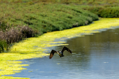 Double-Crested Cormorant in Flight 4