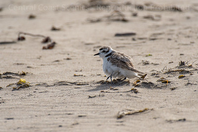 Western Snowy Plover Chick, Sheltering 8