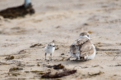 Western Snowy Plover Chick, Sheltering 3