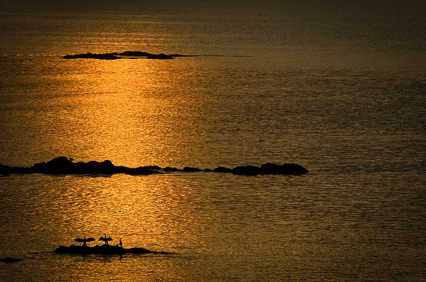Seabirds, possibly cormorants, drying their wings in the early morning sun.  Cornwall.