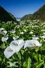 Lilies at Garrapata Beach