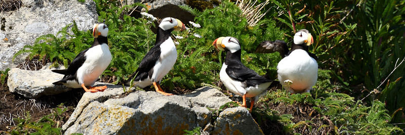 Perching Puffins