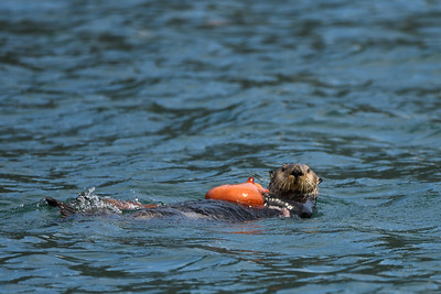 Sea Otter Suppertime