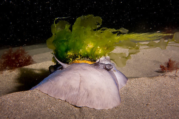 Moon Snail Sporting Kentucky Derby Hat