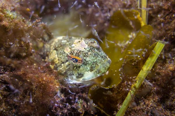 Mysid Shrimp and Grubby