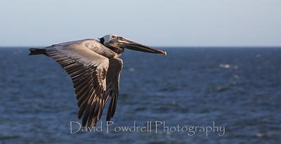 Pelican in high winds along the Carpinteria Bluffs
