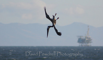 Feeding hour - Brown Pelican