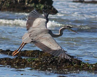 Blue Heron-Carp Calendar