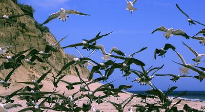 8 Western Gulls