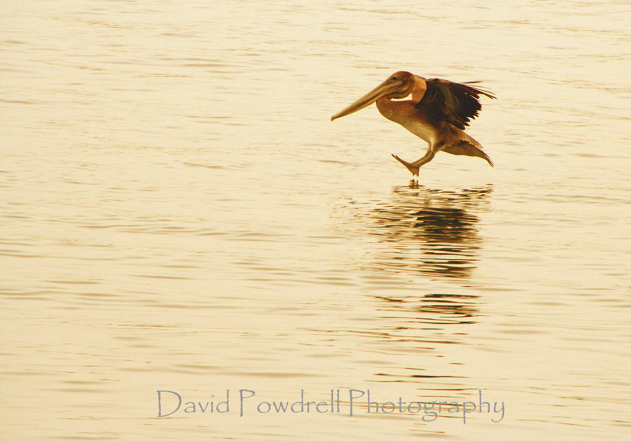 Pelican landing on water-2