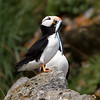 Puffin with fish