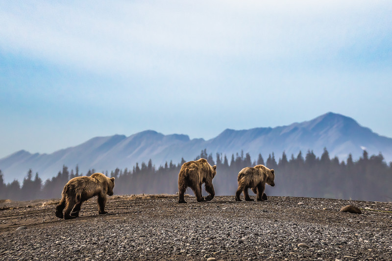 The End ~ mother and cubs head back to the mountains for the night