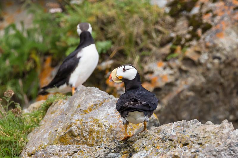 Puffin - Duck Island