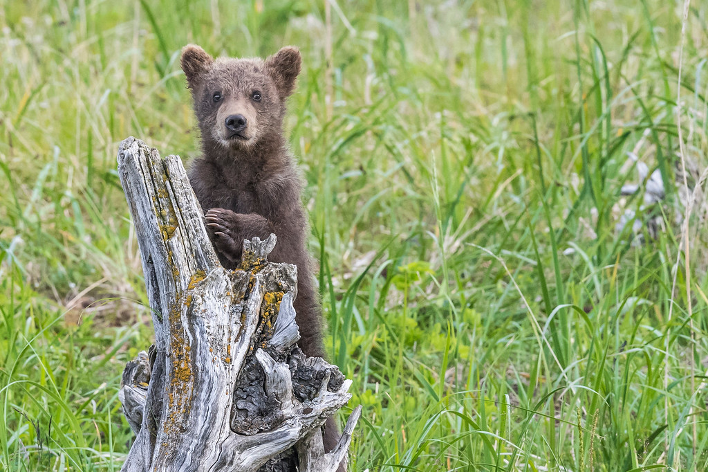 Coastal brown bear spring cub posing on a dead tree trunk. Lake Clark NP, Kenai Peninsula, AK USA