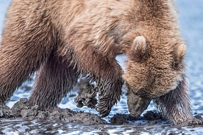 Coastal Brown Bear Juvenile claming. Lake Clark NP, Kenai Peninsula, AK USA