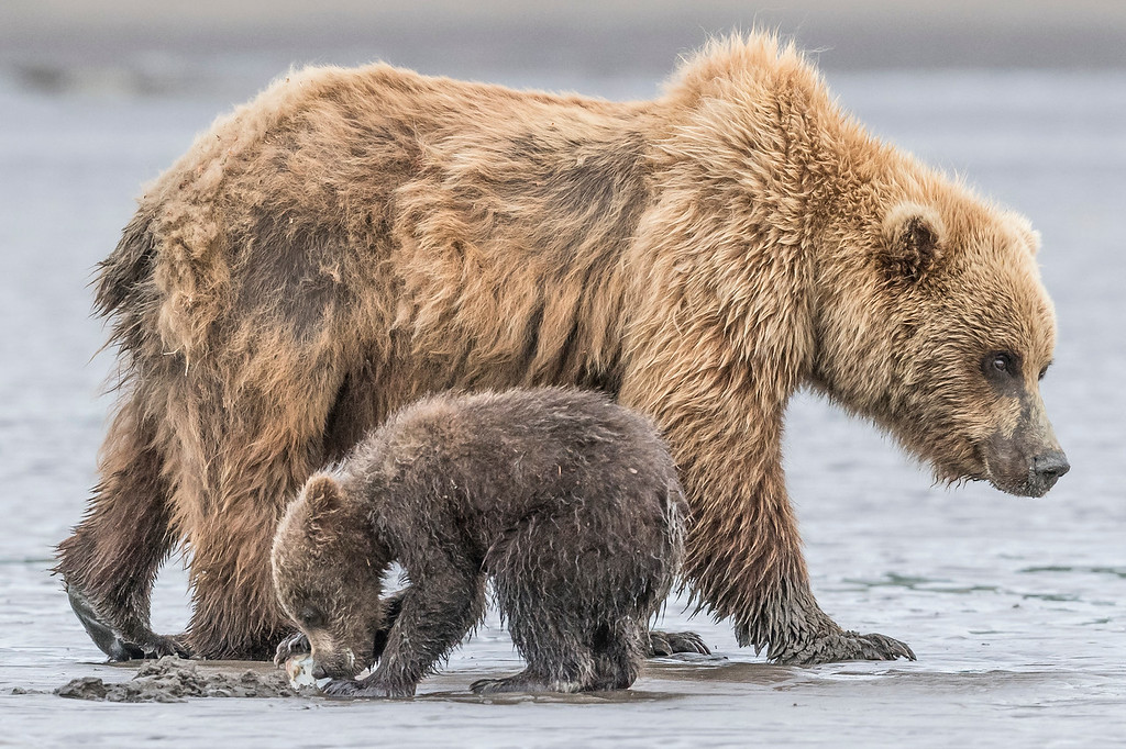 Coastal Brown Bear Spring Cub eating a clam while its mom walks behind it. Lake Clark NP, Kenai Peninsula, AK USA
