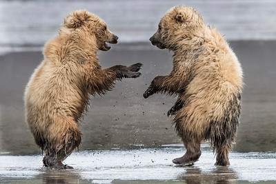 A pair of Coastal Brown Bear Juveniles playing in the mud (low tide). This play prepares them for their adult adventures. Lake Clark NP, Kenai Peninsula, AK USA