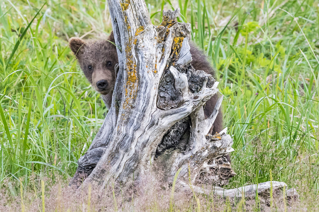 Coastal brown bear spring cub playing peek-a-bo while on a dead tree trunk. Lake Clark NP, Kenai Peninsula, AK USA