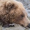 Female coastal brown bear taking a nap while resting in water and mud. Lake Clark NP, Kenai Peninsula, AK USA