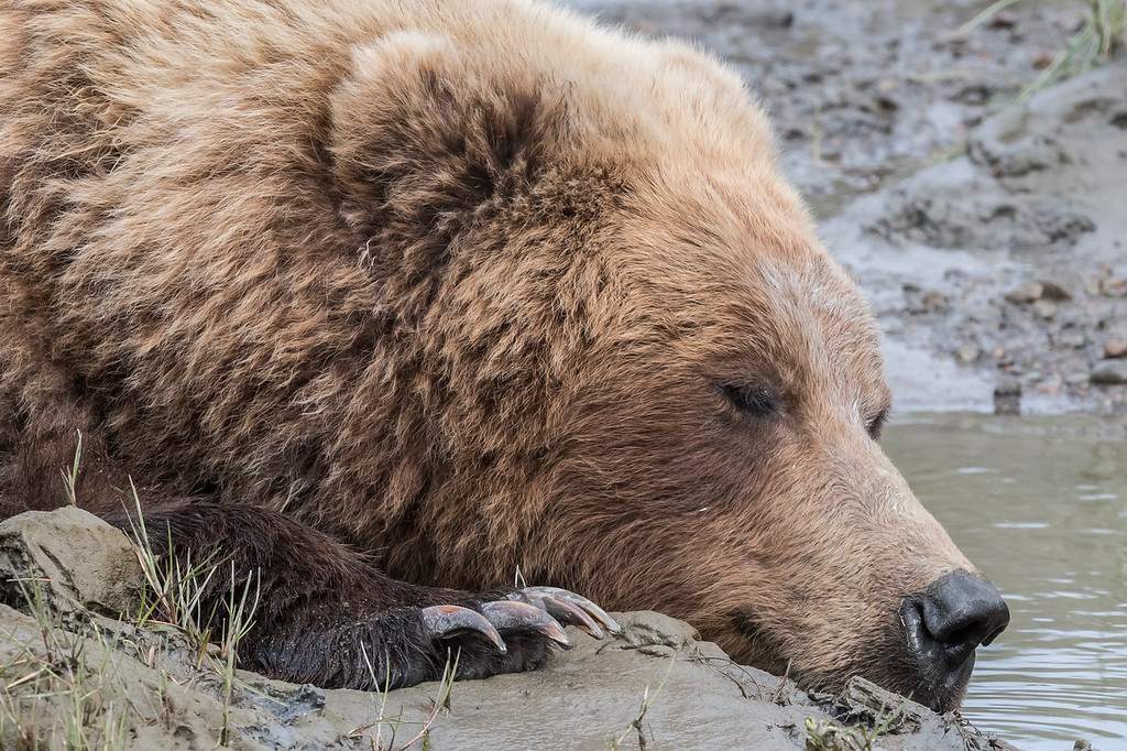 Female coastal brown bear taking a nap while resting in water and mud. Lake Clark NP, Kenai Peninsula, AK USA