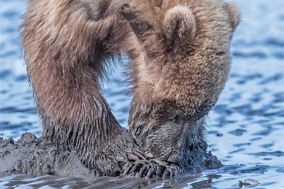 Coastal brown bear juvenile enjoying its clam. Lake Clark NP, Kenai Peninsula, AK USA