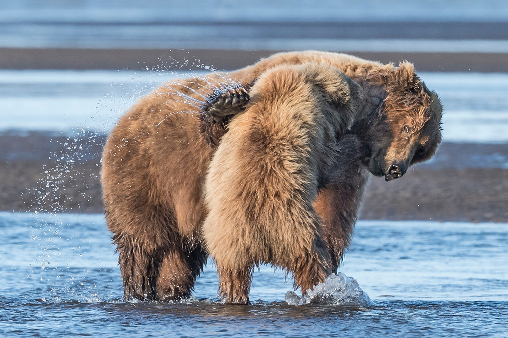 Coastal Brown Bear playing with her offspring  (3 year old juvenile) during low tide. Lake Clark NP, Kenai Peninsula, AK USA