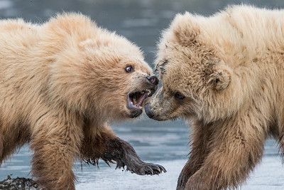 A pair of Coastal Brown Bear Juveniles 'playing' in the mud (low tide). Lake Clark NP, Kenai Peninsula, AK USA
