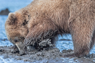 Coastal Brown Bear Juvenile digging for clams. Lake Clark NP, Kenai Peninsula, AK USA