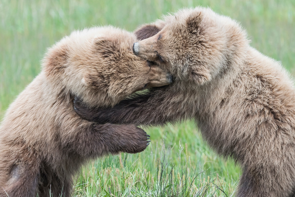 A pair of  3 year old coastal brown bear juveniles wrestling. Lake Clark NP, Kenai Peninsula, AK USA