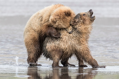 A pair of Coastal Brown Bear Juveniles playing in the mud (low tide). Lake Clark NP, Kenai Peninsula, AK USA