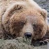 Female coastal brown bear taking a nap in the cool water and mud. Lake Clark NP, Kenai Peninsula, AK USA