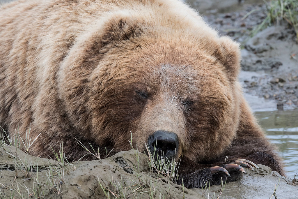Female coastal brown bear taking a nap in the cool water and mud. Lake Clark NP, Kenai Peninsula, AK USA