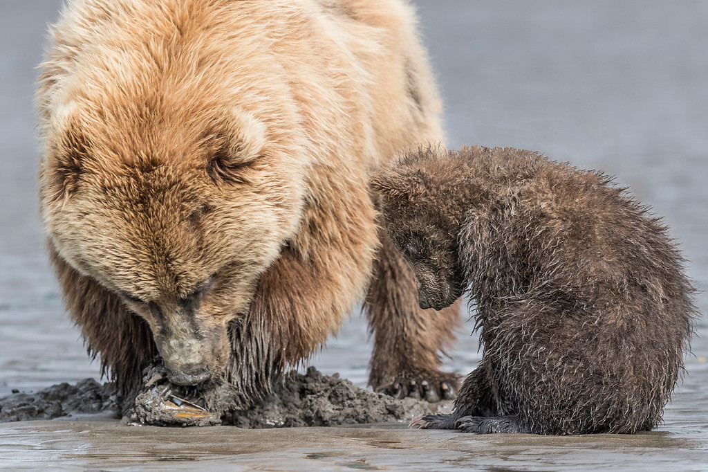 Coastal spring cub keeping an eye on the clam mom has found. Lake Clark NP, Kenai Peninsula, AK USA