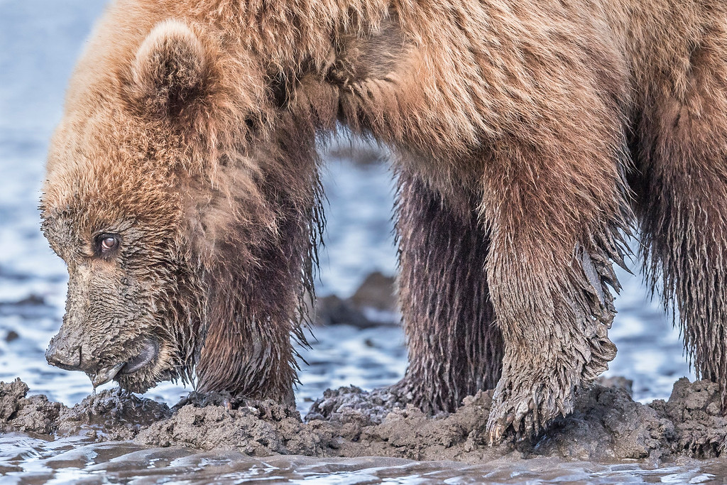 Coastal Brown Bear Juvenile making eye contact with the photographer while showing off the clam it found. Lake Clark NP, Kenai Peninsula, AK USA