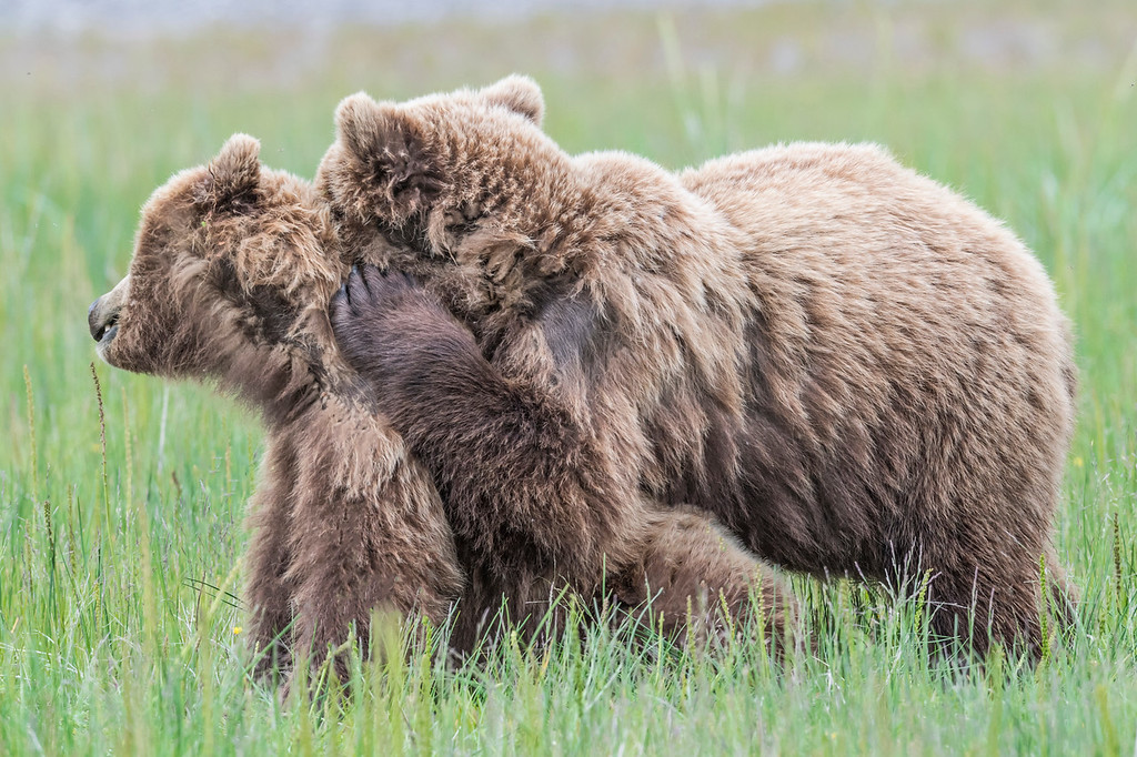 Two coastal brown bear juveniles enjoying a 'tender' moment. Buddies.  Lake Clark NP, Kenai Peninsula, AK USA