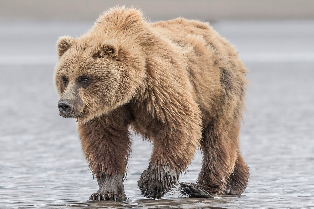 Female coastal brown bear on the hunt for clams. Lake Clark NP, Kenai Peninsula, AK USA