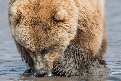 Female coastal Brown Bear eating a clam. Lake Clark NP, Kenai Peninsula, AK USA