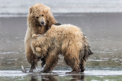 A pair of Coastal Brown Bear Juvenile playing in the mud (low tide). Lake Clark NP, Kenai Peninsula, AK USA