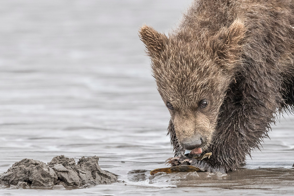 Coastal Brown Bear Spring Cub eating a clam while keeping an eye on the photgrapher. Lake Clark NP, Kenai Peninsula, AK USA