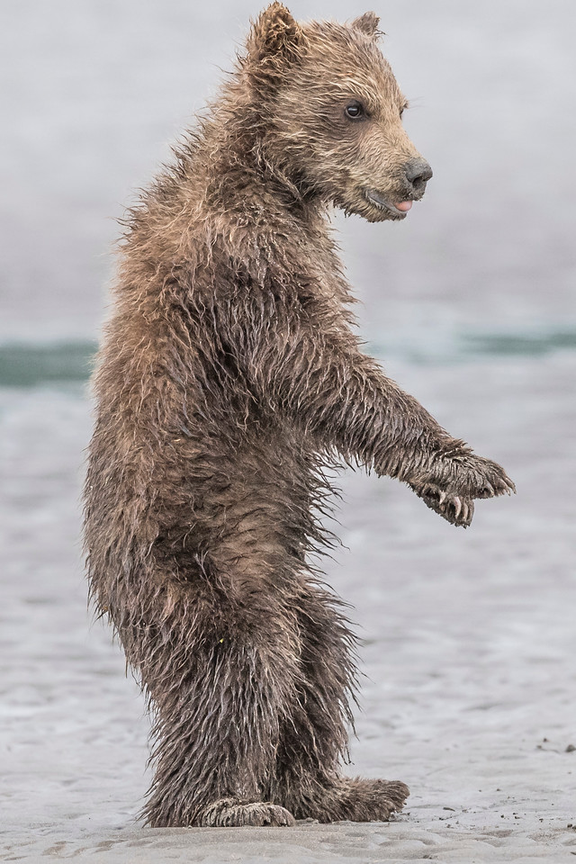 Coastal brown bear spring cub standing upright. Lake Clark NP, Kenai Peninsula, AK USA