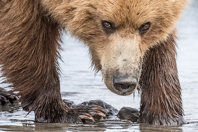 Female coastal brown bear makes eye contact with the photographer while searching for clams. Lake Clark NP, Kenai Peninsula, AK USA