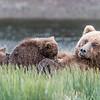 Female coastal brown bear feeding her spring cubs. Lake Clark NP, Kenai Peninsula, AK USA