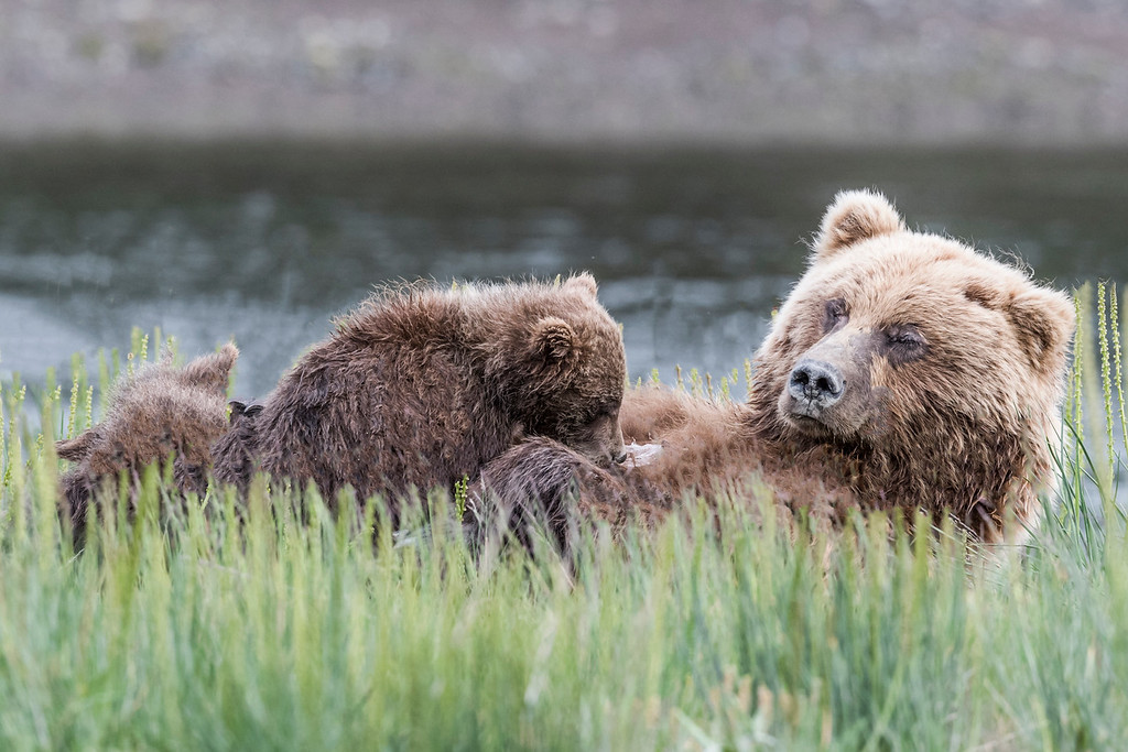 Female coastal brown bear feeding her spring cubs. Lake Clark NP, Kenai Peninsula, AK USA