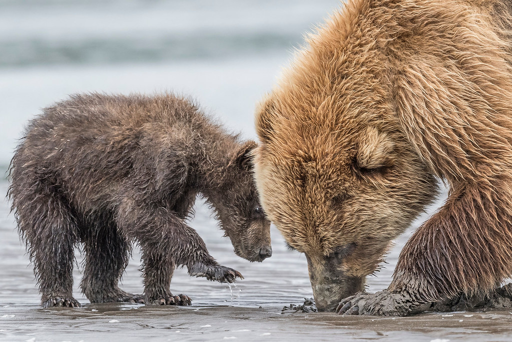 Coastal spring cub trying again for a clam which mom is eating. Lake Clark NP, Kenai Peninsula, AK USA