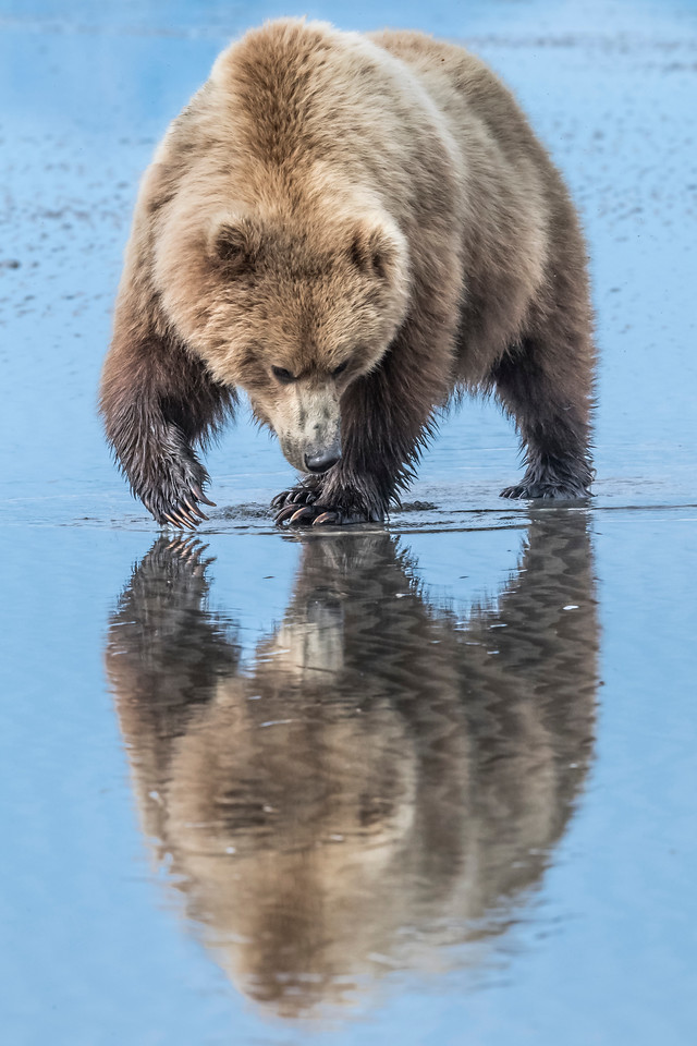 Reflection of a female coastal brown bear searching for clams at low tide. Lake Clark NP, Kenai Peninsula, AK USA