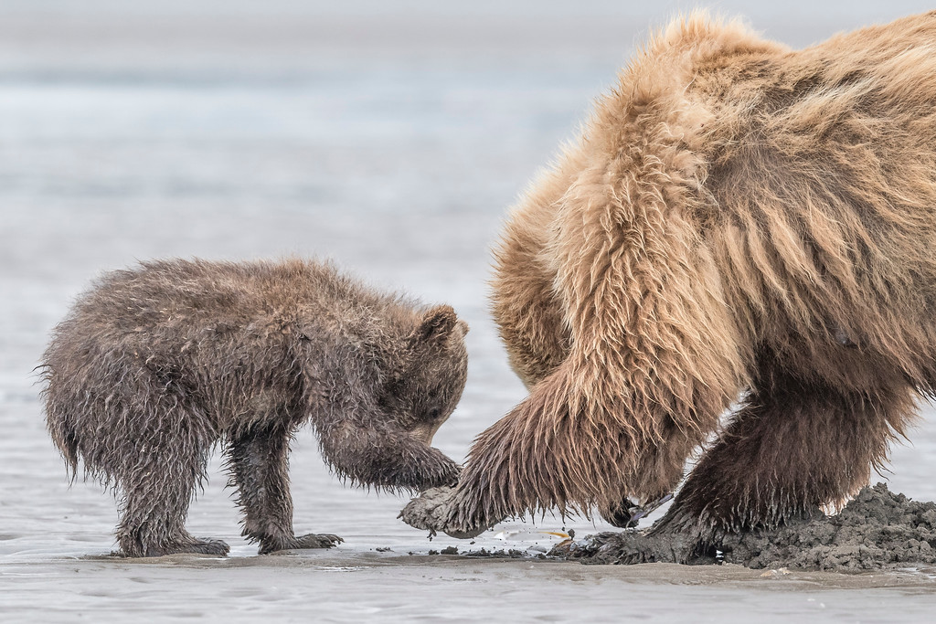 Coastal spring cub being reaching for a clam and being rebuffed by mom. Lake Clark NP, Kenai Peninsula, AK USA
