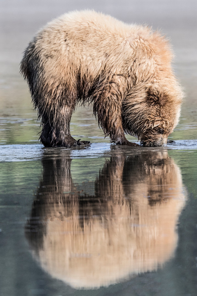 Reflection of coastal brown bear juvenile searching for clams at low tide. Lake Clark NP, Kenai Peninsula, AK USA